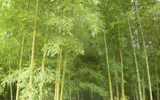 Bambuswald_klein