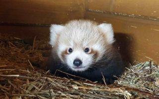 Echter-Roter-Panda.jpeg